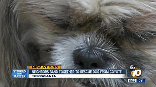 Tierrasanta neighbors band together to rescue dog from coyote - Video