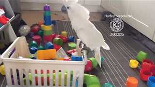 Shameless Cockatoo Has no Respect for Helpless Cups - Video