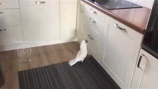 Climbing Cockatoo Goes Up and Down Repeatedly - Video