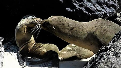 Female sea lion swoons when this cheeky male steals a kiss