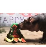 Cincinnati Zoo's Fiona the Hippo Celebrates First Birthday - Video