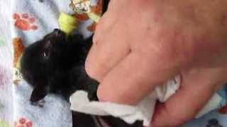 Woman Gently Bathes Baby Bat - Video