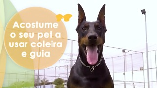Acostume o seu pet a usar coleira e guia - Video