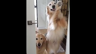 Golden Retrievers try their best to open the door