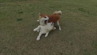 Pair of playful Akitas show love for each other  - Video