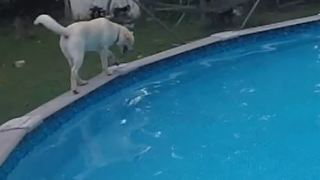 Puppy loves walking around rim of pool