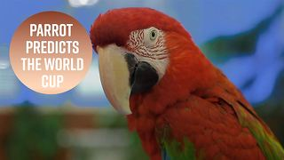 World Cup winner? The psychic parrot has chosen... - Video