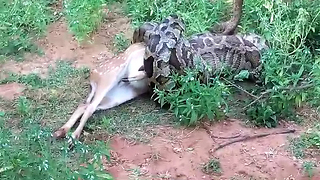 Massive python devours whole deer at Sri Lankan national park