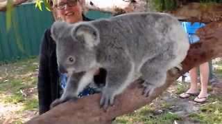 Sammi the Koala Curiously Explores New Enclosure - Video