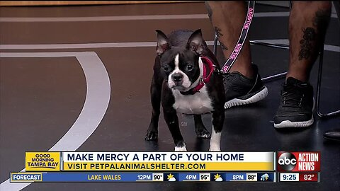 Pet of the Week: Mercy is a 4-year-old Boston terrier looking for an active family