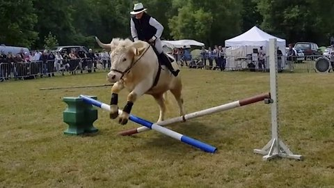 No bull: Huge showjumping bull glides over obstacles and dances like a horse