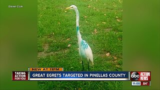 FWC investigating egrets shot with paintballs in Pinellas County