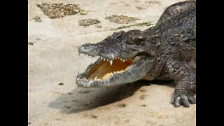 Woman films a scary crocodile attack in Australia