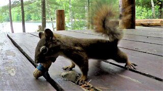 Squirrel comically mystified by elastic band around his peanut prank