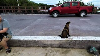 Baby sea lion flawlessly stops and looks both ways before crossing the street
