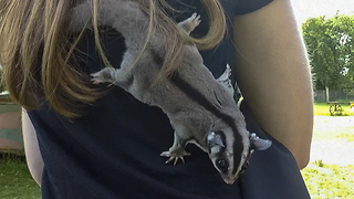 Sugar glider jumps and climbs over delighted girl