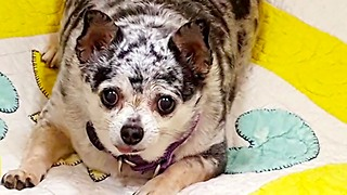 Lu-Seal the Chihuahua's Inspiring Weight Loss Story - Video