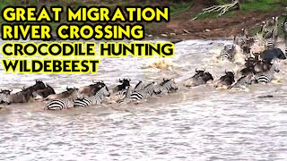 Crocodiles attack Zebras and Wildebeest during great River Crossing Migration in Masai Mara, Kenya
