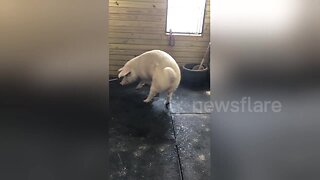 Greedy pig from New York farm steals milk from calf