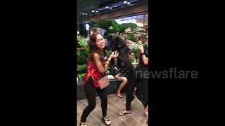 Clingy Great Dane gets a little too friendly with Thai woman - Video