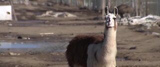 Study: Llama antibodies could fight coronavirus