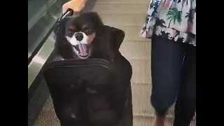 Jet-Setter Puppy Travels in Style - Video