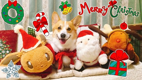 Happy corgi is more than ready to celebrate Christmas