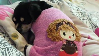 Very cute sleepy chihuahua dog - Video