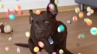 Puppy overwhelmed with abundance of bouncy balls - Video