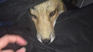 Pet Fox Is Asked To Go Outside But She Doesn't Want To  - Video