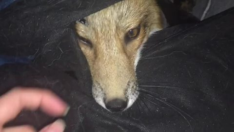 Pet Fox Is Asked To Go Outside But She Doesn't Want To