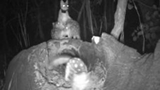 Baby Quolls Frolic Under Mum's Watchful Eye - Video
