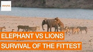 Elephant Somehow Manages to Fend off Lion Attack - Video