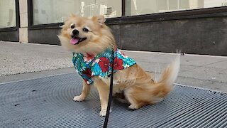 Hilarious Pomeranian finds love with street vent