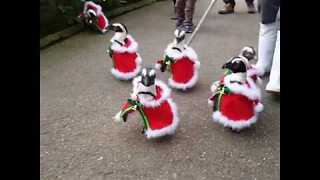 Cute Penguins Dressed In Santa Costumes Parade In Matsue Vogel Park - Video