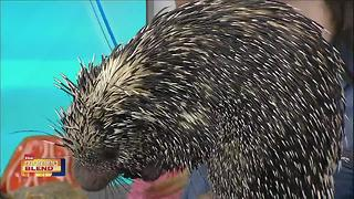 Visit Tampa Bay: Porcupine - Video