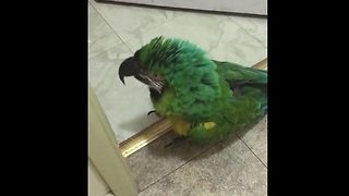 Parrot furious about locked door, vocally expresses outrage - Video