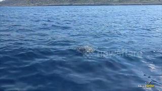 Monk seal spotted off southern Italy in rare sighting - Video