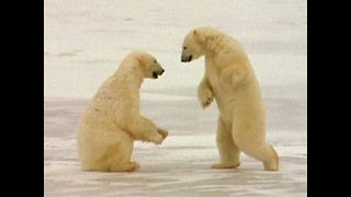 Polar Bear Play Date - Video