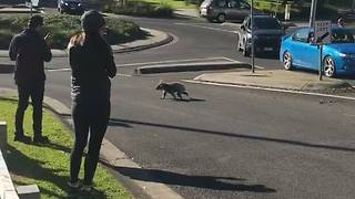 Koala Blocks Traffic While Taking a Morning Stroll