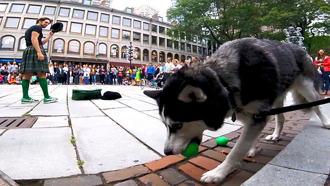 Cute Siberian Husky Steal Show from Street Performer