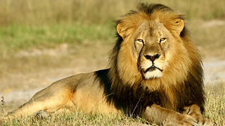 Understanding the Killing of Cecil the Lion - Video