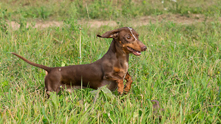 Dachshund in Slow Motion - Video