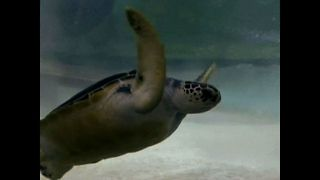 Diver Races Sea Turtle - Video