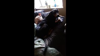 Silly doggy steals owner's spot on the couch