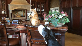 Great Dane and Cat play with Catnip Toy - Video