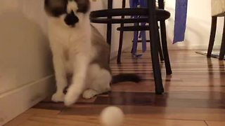 Cat and owner play catch with ping pong ball