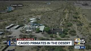 Employees speak out about chimpanzees in desert - Video