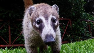 Adorable baby coatis curiously investigate camera