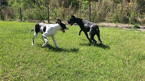 Happy Running and Rolling Great Dane and Puppy